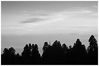 Silhouettes of sequoia tree tops at sunset. Kings Canyon National Park ( black and white)