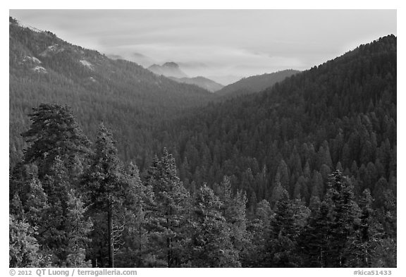 Redwood Mountain Grove, largest sequoia grove. Kings Canyon National Park (black and white)
