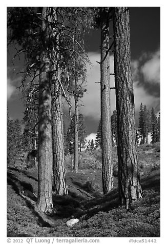 Ponderosa pine trees and sky, Hotel Creek. Kings Canyon National Park (black and white)