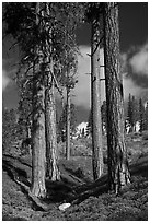 Ponderosa pine trees and sky, Hotel Creek. Kings Canyon National Park, California, USA. (black and white)