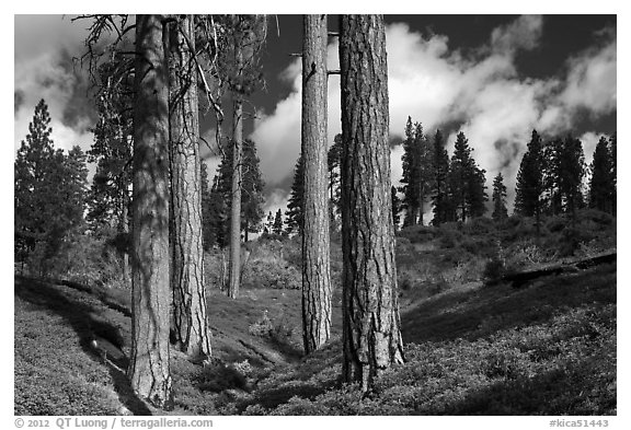 Group of Ponderosa pines and sky. Kings Canyon National Park (black and white)