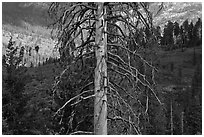 Standing tree skeleton. Kings Canyon National Park, California, USA. (black and white)