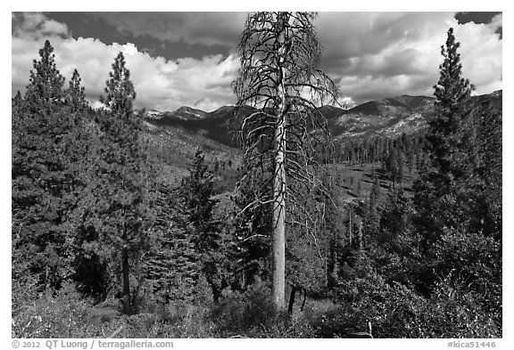 Tall standing dead tree and forest. Kings Canyon National Park (black and white)