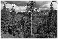 Tall standing dead tree and forest. Kings Canyon National Park ( black and white)