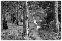 Trail in pine forest. Kings Canyon National Park, California, USA. (black and white)