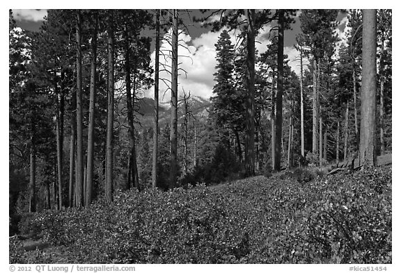 Pine trees and mountains. Kings Canyon National Park (black and white)
