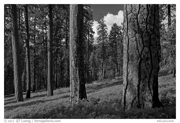 Ponderosa pine forest. Kings Canyon National Park (black and white)