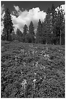 Wildflowers and pine forest. Kings Canyon National Park ( black and white)