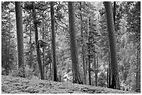 Pine trees, Lewis Creek. Kings Canyon National Park ( black and white)