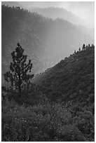 Tree and backlit ridges, Kings Canyon. Kings Canyon National Park, California, USA. (black and white)