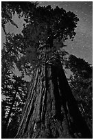 Moonlit sequoia and star trails. Kings Canyon National Park, California, USA. (black and white)