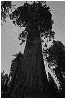 Sequoia and star trails, Grant Grove. Kings Canyon National Park, California, USA. (black and white)