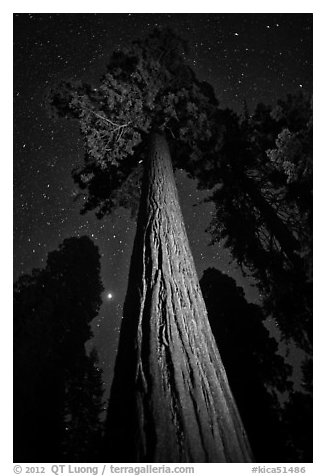 Sequoia tree, planet, stars. Kings Canyon National Park (black and white)