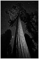 Sequoia tree, planet, stars. Kings Canyon National Park, California, USA. (black and white)