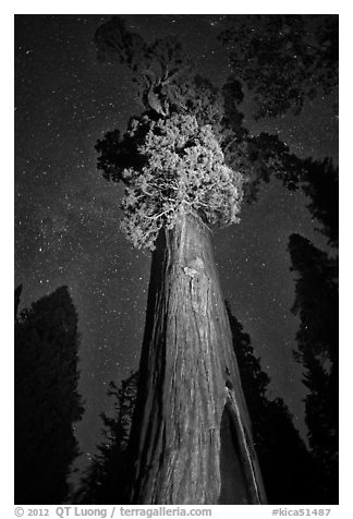 General Grant tree under starry skies. Kings Canyon National Park (black and white)