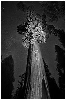 General Grant tree under starry skies. Kings Canyon National Park, California, USA. (black and white)
