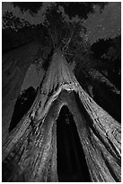Sequoia tree with opening at base at night, Redwood Canyon. Kings Canyon National Park, California, USA. (black and white)