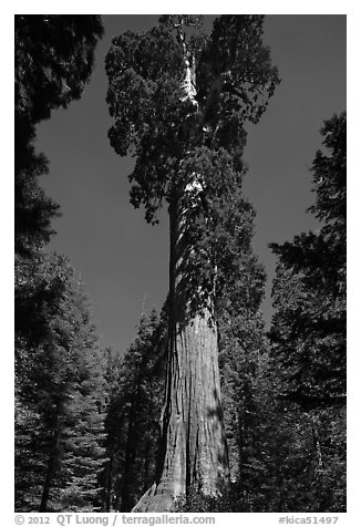 General Grant tree. Kings Canyon National Park (black and white)