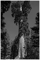 General Grant tree. Kings Canyon National Park, California, USA. (black and white)