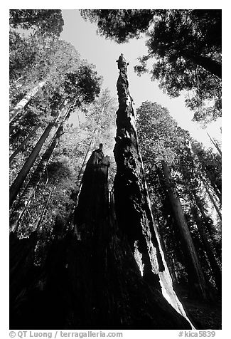 Burned tall tree. Sequoia National Park (black and white)