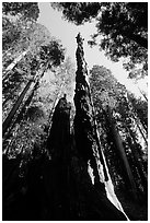 Burned tall tree. Sequoia National Park, California, USA. (black and white)