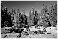 Big sequoia tree stumps, Giant Sequoia National Monument near Kings Canyon National Park. California, USA (black and white)