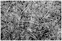 Close-up of fallen sequoia needles over hailstones. Kings Canyon National Park ( black and white)