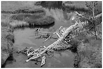 Fallen tree in Kings Creek with Lassen Peak reflection. Lassen Volcanic National Park ( black and white)