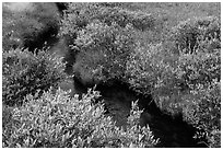 Shrubs and stream, late summer. Lassen Volcanic National Park ( black and white)