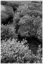 Shrubs in fall foliage along stream. Lassen Volcanic National Park ( black and white)