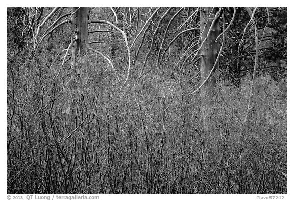 Dense shrubs and bare trunks. Lassen Volcanic National Park (black and white)