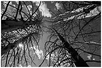 Looking up burned trees. Lassen Volcanic National Park ( black and white)
