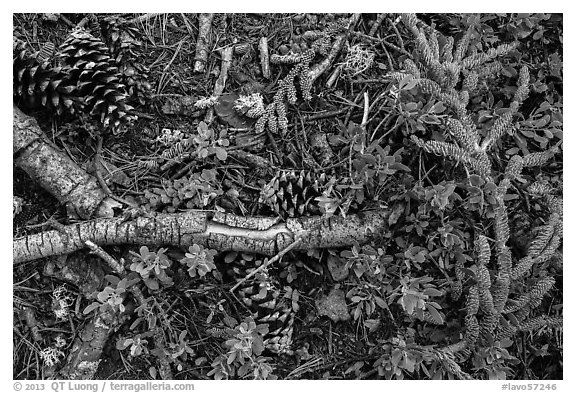 Ground close-up of forest floor. Lassen Volcanic National Park (black and white)
