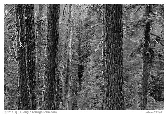 Trunks and conifer forest. Lassen Volcanic National Park (black and white)