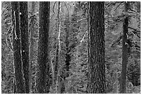 Trunks and conifer forest. Lassen Volcanic National Park ( black and white)