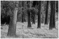Pine tree trunks, Warner Valley. Lassen Volcanic National Park ( black and white)