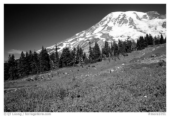 Flowers at Paradise and Mt Rainier, morning. Mount Rainier National Park (black and white)
