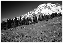 Flowers at Paradise and Mt Rainier, morning. Mount Rainier National Park ( black and white)