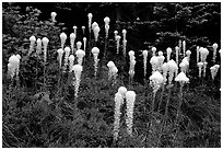 Tall beargrass flowers. Mount Rainier National Park, Washington, USA. (black and white)