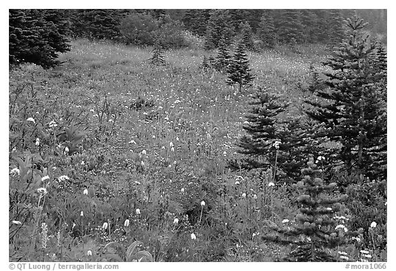 Wildflowers and trees at Paradise. Mount Rainier National Park (black and white)