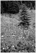 Wildflowers and trees at Paradise. Mount Rainier National Park, Washington, USA. (black and white)