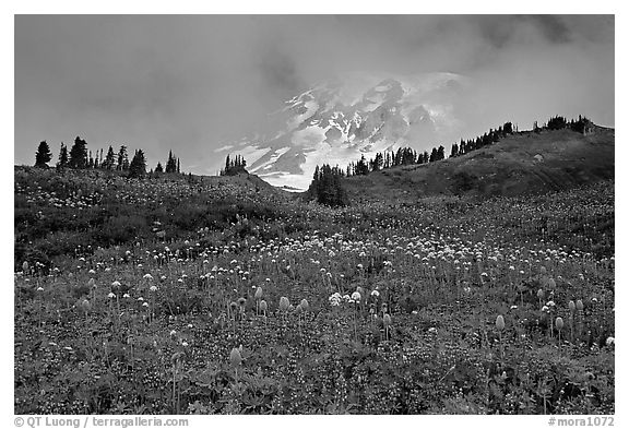 Lupine and Mt Rainier in fog from Paradise. Mount Rainier National Park (black and white)