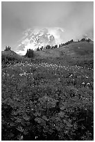 Lupine and Mt Rainier shrouded in fog from Paradise. Mount Rainier National Park ( black and white)