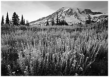 Field of pink flowers and Mount Rainier, late afternoon. Mount Rainier National Park, Washington, USA. (black and white)