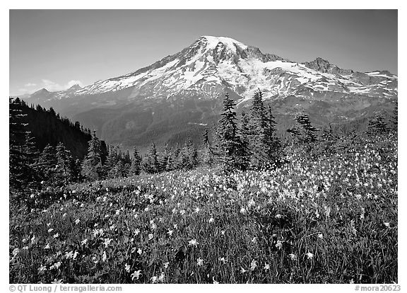 Avalanche lillies and Mt Rainier seen from  Tatoosh range, afternoon. Mount Rainier National Park (black and white)