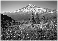 Avalanche lillies and Mt Rainier seen from  Tatoosh range, afternoon. Mount Rainier National Park, Washington, USA. (black and white)