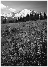 Lupines and Mt Rainier from Sunrise, morning. Mount Rainier National Park, Washington, USA. (black and white)