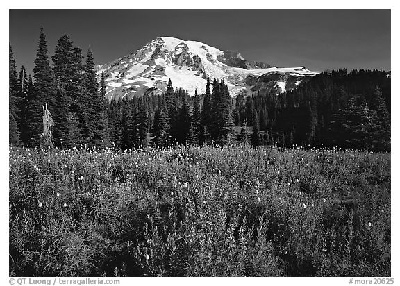 Lupine, conifers, and Mt Rainier, Paradise. Mount Rainier National Park (black and white)
