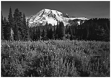 Lupine, conifers, and Mt Rainier, Paradise. Mount Rainier National Park, Washington, USA. (black and white)