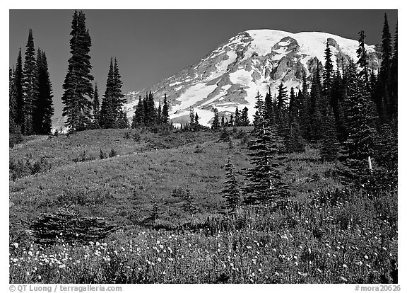 Meadow, wildflowers, trees, and Mt Rainier, Paradise. Mount Rainier National Park (black and white)